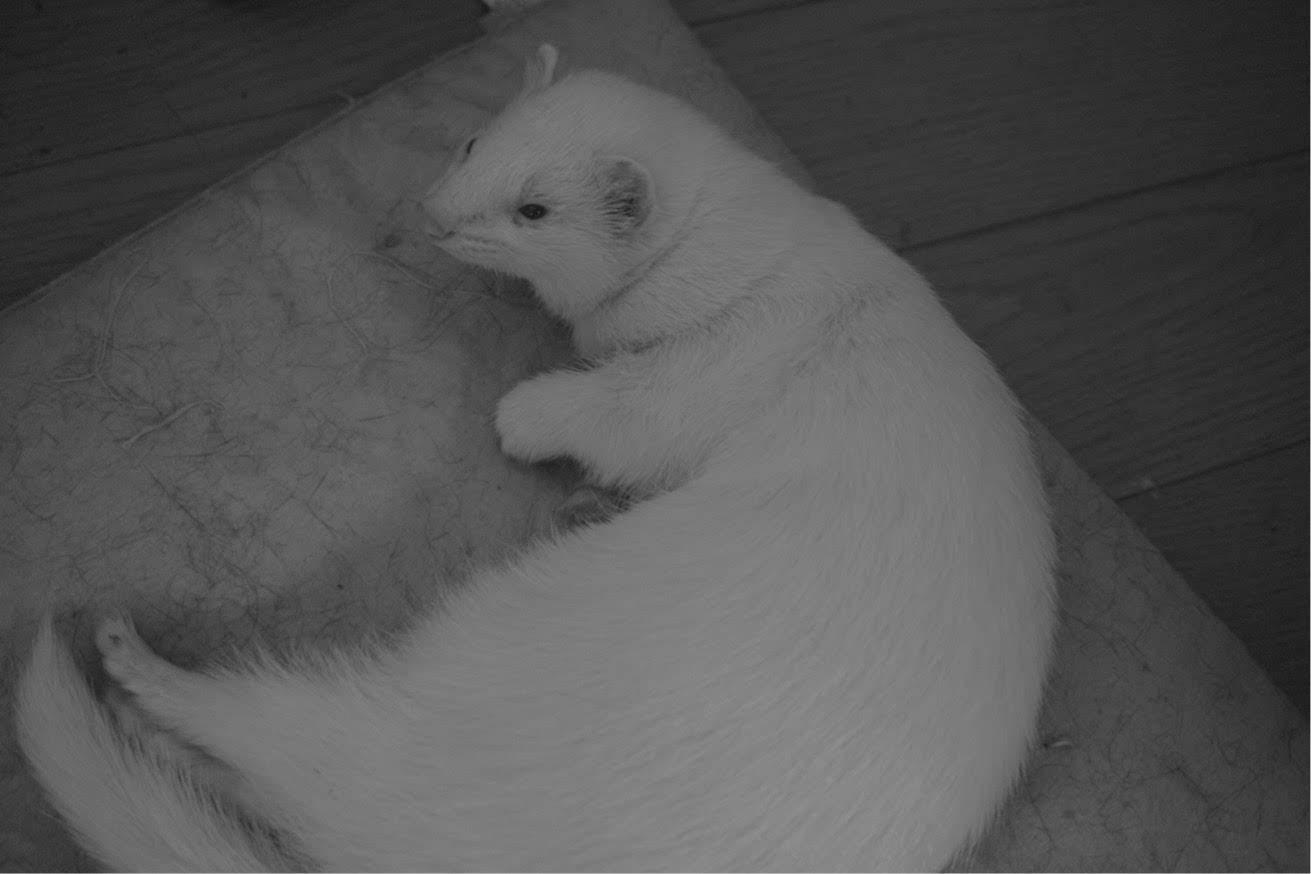 フェレット、メイメイ、ノスタルジック、白黒写真、DP2