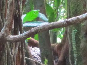 Photo: Wildcat asleep in a tree
