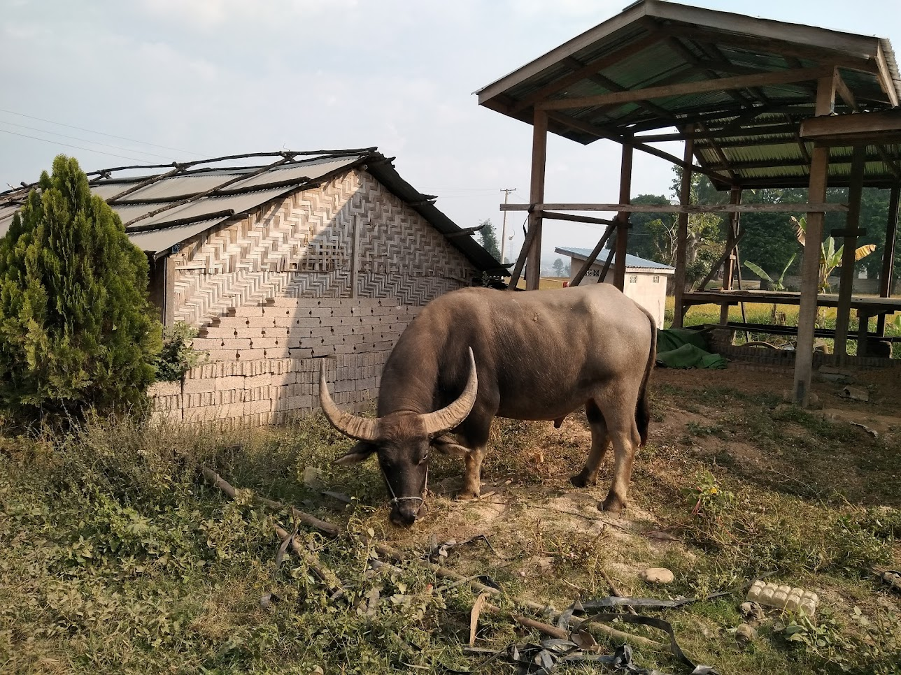 ミャンマーの水牛