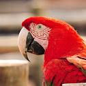 Arara-vermelha-grande(Red-and-green Macaw)