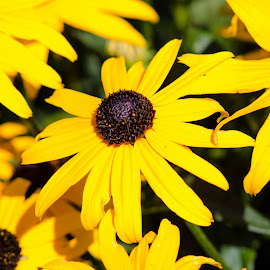 Sunshine flowers by Michele Williams - Flowers Flower Arangements ( pollen, sunshine, yellow, flower, petal )