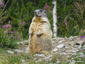 Photo: Marmot, Saas Fee, Switzerland