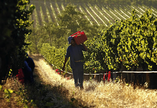 DRY WHITES: Workers harvest grapes at the La Motte wine farm in Franschhoek in January 2016. Picture: REUTERS