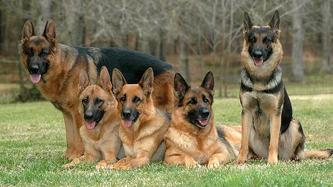 Salazars German Shepherds - Dog Breeder in Decatur