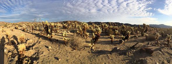 Photo: Panorama of Cholla Cactus Garden, Joshua Tree National Park