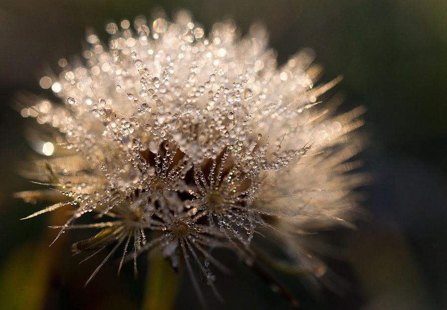 dandelion by Jana Černošková - Nature Up Close Natural Waterdrops ( dandelion, dew,  )