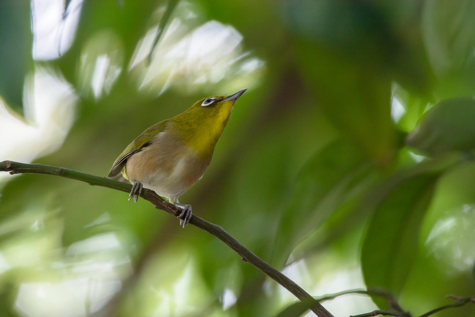 Photo: 落ち着く空間 Peace of mind.  深く茂る木々 心地良く溶け込める 安心できる場所 緑が優しく包んでくれる  Japanese White-eye. (メジロ)  #birdphotography #birds #cooljapan #kawaii #nikon #sigma  Nikon D7200 SIGMA 150-600mm F5-6.3 DG OS HSM Contemporary