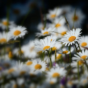 Some flowers that daisies? by Pavel Zach - Flowers Flowers in the Wild ( flowers, green, white, yellow, daisy )