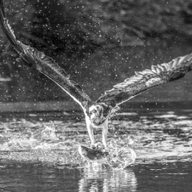Fishing by Garry Chisholm - Black & White Animals ( raptor, bird of prey, nature, fishing, osprey, water, wildlife, garry chisholm )