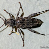 Longhorned Beetle