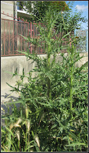 Photo: Scaiete, corsium vulgare - de pe Str. Mihai Viteazu - 2017.06.11