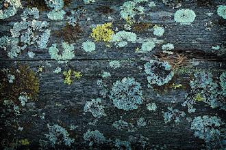 Photo: Lichens on Wood