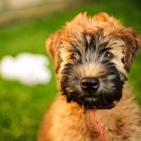 Fluffy Puppy by Mauricio Alas - Animals - Dogs Portraits