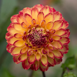 Bright Yellow And Orange Dahlia by Janet Marsh - Flowers Single Flower ( red, pescadero, dahlia, yellow )