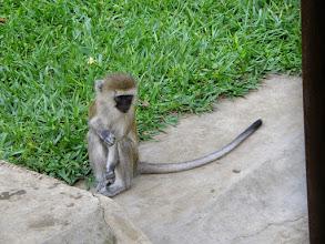 Photo: Vervet monkey...