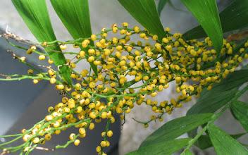 Photo: Palm Berries