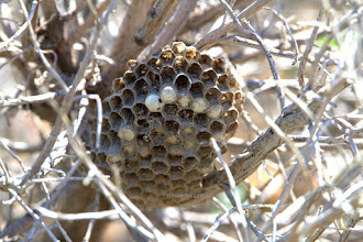 Photo: Hornet's Nest