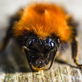 Bumblebee by Trond Svendsen - Animals Insects & Spiders ( #helgeland, #insects, #vistnorway, #bumblebee, #summer, #sandnessjøen )