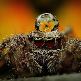King jumping spider by Thảo Nguyễn Đắc - Animals Insects & Spiders (  )