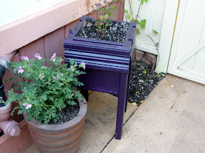 Photo: Next to the hops, along back gate, another patio-sized blueberry starting, and a scented geranium.