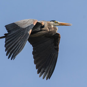 Great Blue Heron in Flight by Susan Hughes - Animals Birds (  )