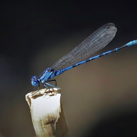 blue dragon by Bruce Newman - Animals Insects & Spiders ( dragonfly, macro, natural light, insect, nature up close, colorful,  )