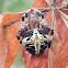Redfemured spotted orbweaver