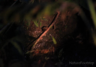 Photo: Hidden face NF Photo 110209 Naturalista CostaRica http://nfbild2.blogspot.se/2012/09/hidden-face.html