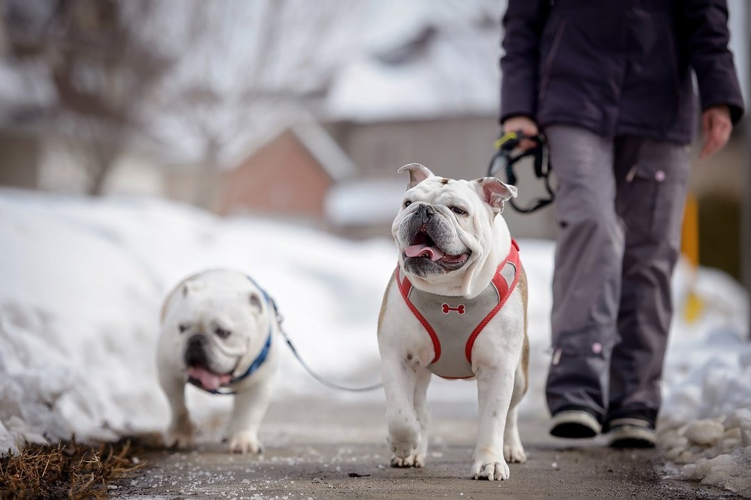 Two bulldogs walking on the sidewalk in winter, person's legs visible behind.