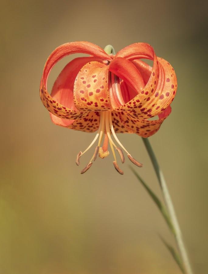 Wild Tiger Lily by Sue Matsunaga - Flowers Flowers in the Wild