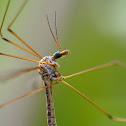 Típula (Crane fly)