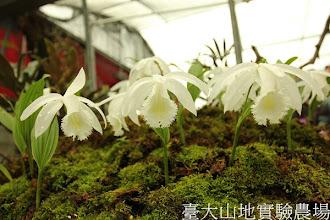 Photo: 拍攝地點: 梅峰-一葉蘭展示室 拍攝植物: 臺灣一葉蘭 梅雪 拍攝日期:2012_04_04_FY