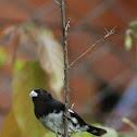 Espiguero negriblanco - Black-and-white Seedeate