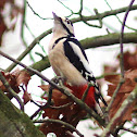 Great spotted woodpecker / Grote Bonte Specht