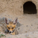 Arabian red fox (baby).