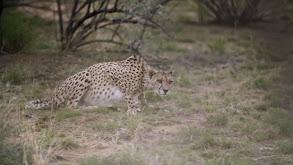 Cheetahs of the Desert thumbnail