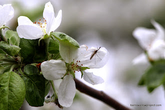 Photo: Mosquito and apple blossom