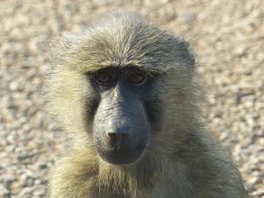Photo: Papio anubis - Kibale NP, Uganda
