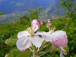 Photo: Die Apfelblüte so gut wie vorbei...