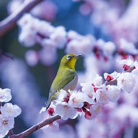 Apricot by Ryusuke Komori - Animals Birds ( bird, japan, osaka, apricot, flower, white‐eye )