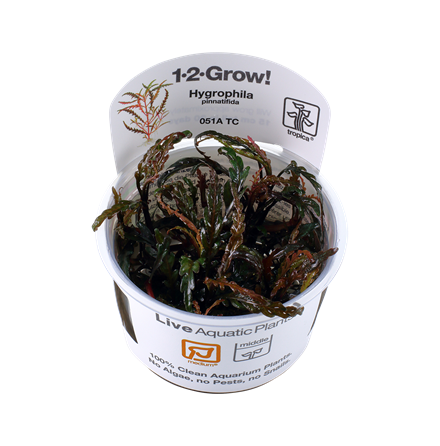 Hygrophila Pinnatifida 1-2 Grow