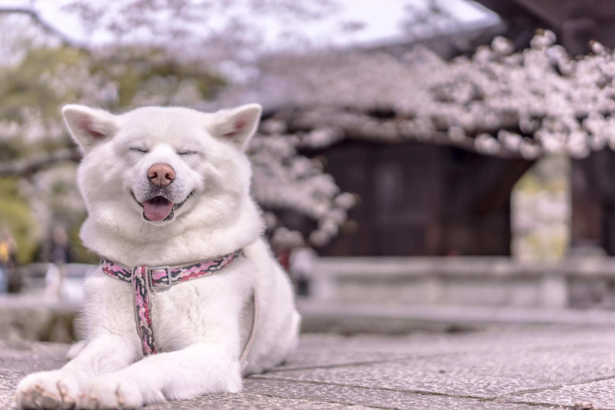京都 桜 南禅寺3