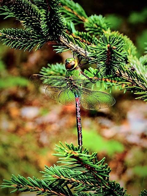 Green darner (female)