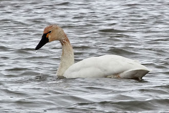 Photo: Tundra Swan