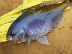 Photo: ウメイロも入ります! 沖縄でも釣れる魚で刺身で美味しい魚です!