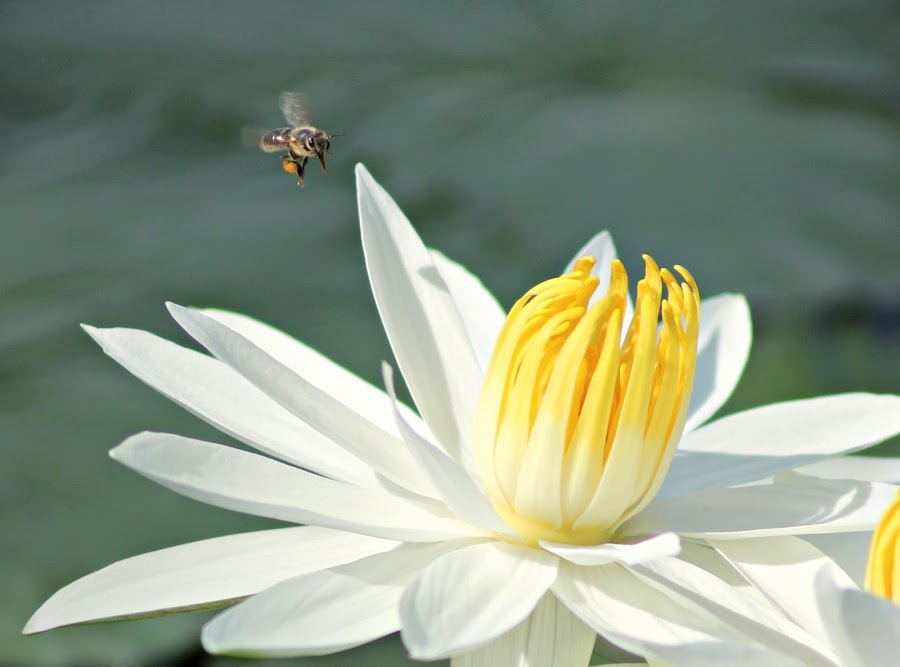 Coming in for a landing by Val Brill - Nature Up Close Other Natural Objects ( water, bees, lilies )