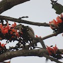 Palash/Flame of the Forest