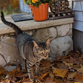 Fall Fun #2 by Michelle Kelly - Animals - Cats Portraits ( leaves, fall, cat, autumn,  )