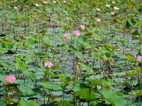 Photo: Lotus flowers