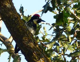 Photo: Adult male Acorn Woodpecker, Alum Rock Park, San Jose, California